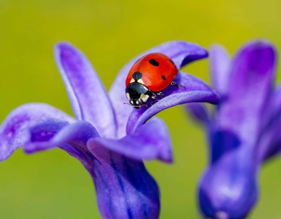 Marienkäfer - Nützlinge im Garten [Foto: Adobe Stock/mehmetkrc]