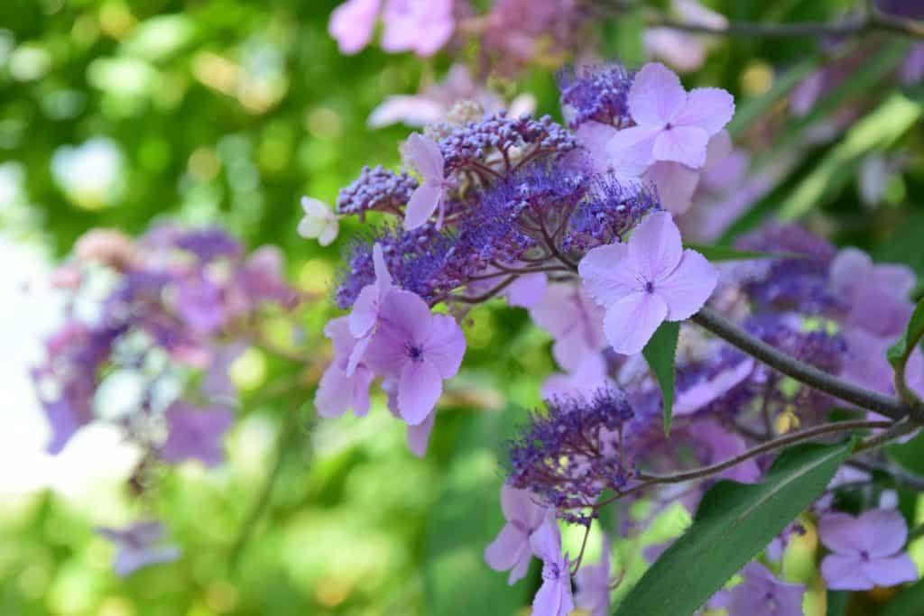 Tellerhortensie Hydrangea serrata - Foto: Adobe Stock/Zeitgugga6897
