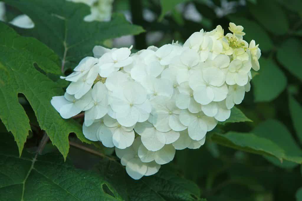 Eichenblättrige Hortensie Hydrangea quercifolia - Foto: Adobe Stock/ hcast
