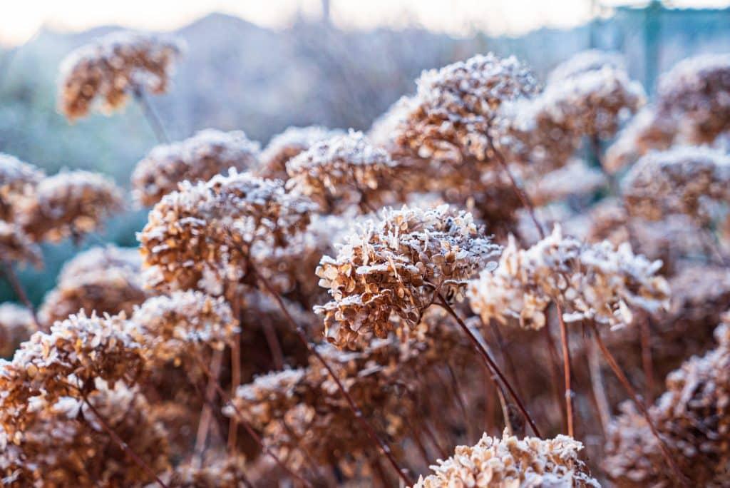 Vertrocknete Hortensienblüten im Winter