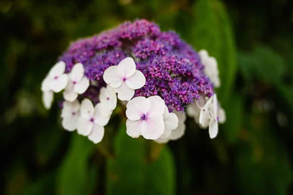 Samthortensie Hydrangea aspera - Foto: Adobe Stock/ ThePhotoFab
