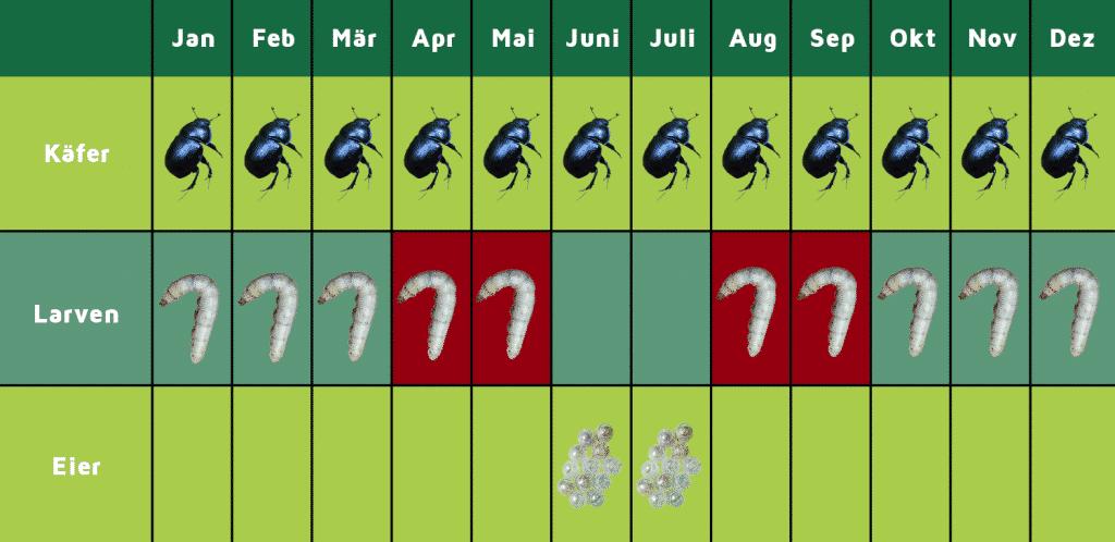 Lebenszyklus Dickmaulrüssler